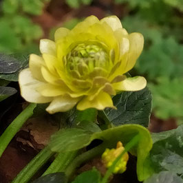 Ranunculus ficaria 'Florence'