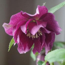 Helleborus x orientalis 'SP Elly'