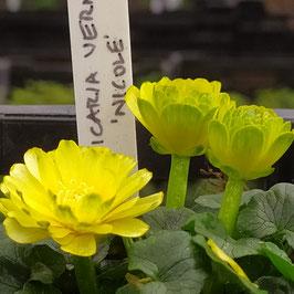 Ranunculus ficaria 'Nicole'