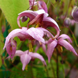 Epimedium x hybr. 'Enchantress'