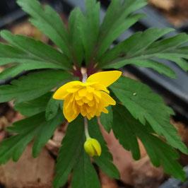 Anemone ranunculoides 'Papa' - Gefülltblühendes Gelbes Windröschen