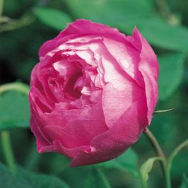 'Reine Victoria' (Bourbon-Rose)