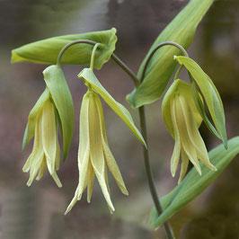 Uvularia perfoliata - Mehlige Glockenwurz
