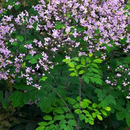 Thalictrum rochbrunianum - Pracht-Wiesenraute