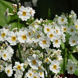 Primula japonica 'Alba' - Japanische Etagen-Schlüsselblume