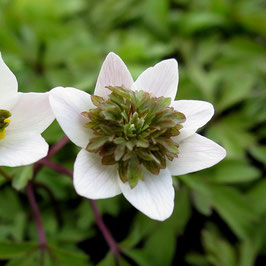 Anemone nemorosa 'Green Fingers' - Buschwindröschen