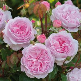 Englische Rose 'Olivia Rose Austin'