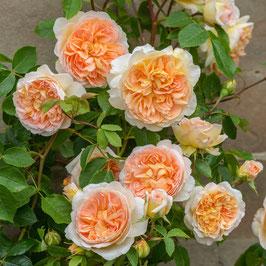 Englische Rose 'Bathsheba'