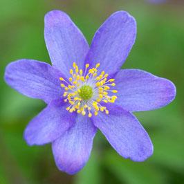 Anemone nemorosa 'Royal Blue' - Buschwindröschen