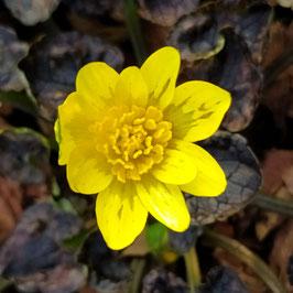 Ranunculus ficaria 'Richval'