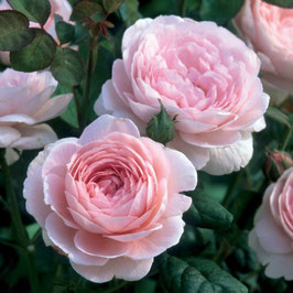 Englische Rose 'Queen of Sweden'