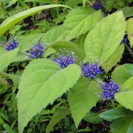Veronicastrum villosulum