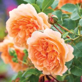 Englische Rose 'Dame Judi Dench'