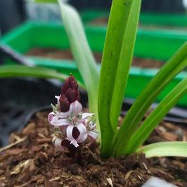 Reineckia yunnanensis