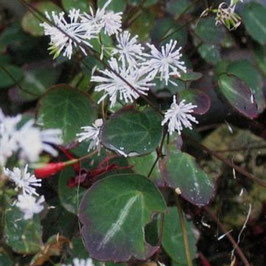 Thalictrum ichangense 'Purple Marble' - Ichang-Wiesenraute
