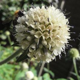 Dipsacus inermis - Himalaya-Karde