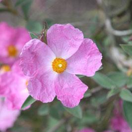 Cistus x incanus 'Grayswood Pink'