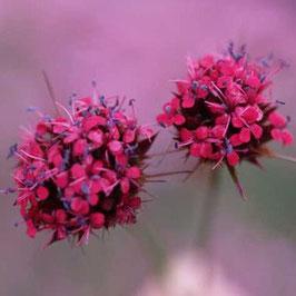 Dianthus pinifolius - Mazedonische Fransennelke