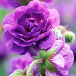 Geranium himalayense 'Plenum' - Himalaya-Storchschnabel