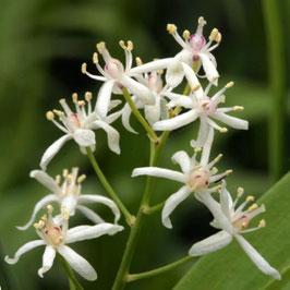 Smilacina stellata - Stern-Duftsiegel
