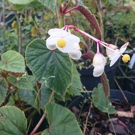 Begonia grandis ssp. evansiana 'Alba'