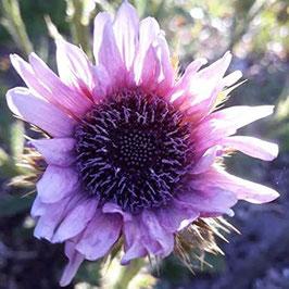 Berkheya purpurea - Purpur-Kapdistel