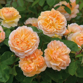 Englische Rose 'The Lady Gardener'