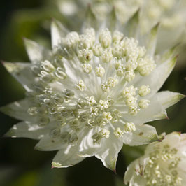 Astrantia major 'White Angel' - Große Sterndolde