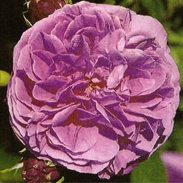 'Louise Odier' (Bourbonrose)