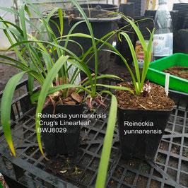 Reineckia yunnanensis 'Crug's Linearleaf' BWJ8029 (syn. R. incurva 'Crug's Linearleaf' BWJ8029)