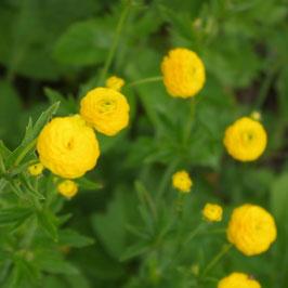Ranunculus acris 'Multiplex'