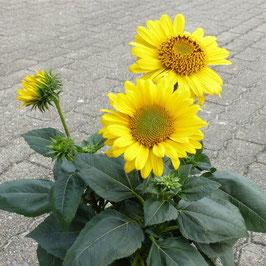 Helianthus multiflorus 'Suncatcher Pure Gold' - Vielblütige Stauden-Sonnenblume