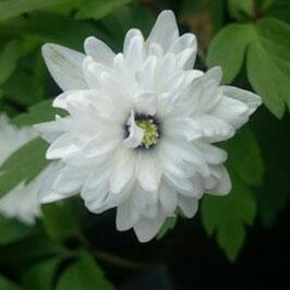 Anemone nemorosa 'Blue Eyes' - Gefülltes Buschwindröschen