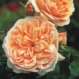 Englische Rose 'Evelyn'
