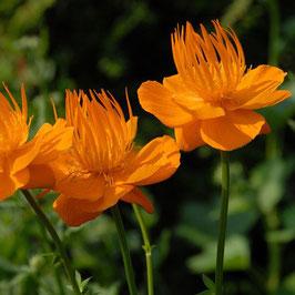 Trollius chinensis 'Golden Queen' - Chinesische Trollblume