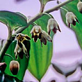 Disporopsis aspersa - Gesprenkeltes Himalayasiegel
