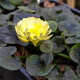 Ranunculus ficaria 'Sylvie'