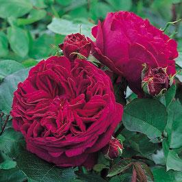 Englische Rose 'Falstaff'