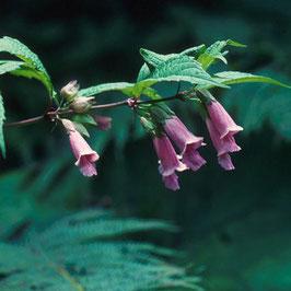 Chelonopsis yagiharana - Japanische Glockenröhre