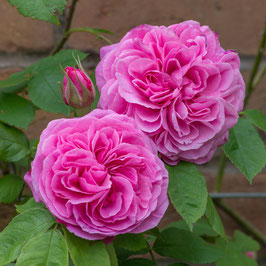 Englische Rose 'Gertrude Jekyll' Cl