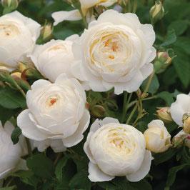 Englische Rose 'Claire Austin'