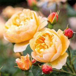 Englische Rose 'Roald Dahl'