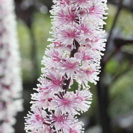 Cimicifuga ramosa 'Pink Spike'