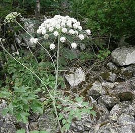Laserpitium latifolium - Breitblättriges Laserkraut