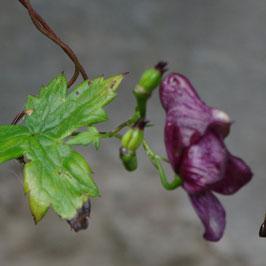 Aconitum hemsleyanum 'Red Vine'