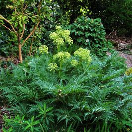 Molopospermum peloponnesiacum - Peloponnesische Schirmdolde
