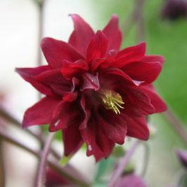 Aquilegia vulgaris 'Ruby Port' - Rote Barlow-Akelei