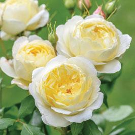 Englische Rose 'Vanessa Bell'
