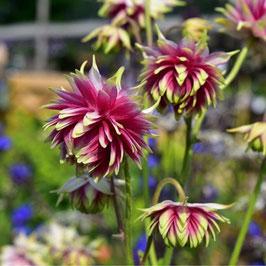 Aquilegia vulgaris 'Nora Barlow' - Barlow-Akelei