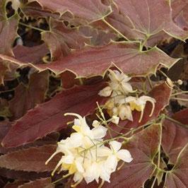 Epimedium wushanense 'Spiny Leafed Form' CC014633 (syn. E. wushanense 'Sandy Claws')